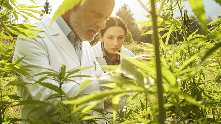 estudios thc cannabis
